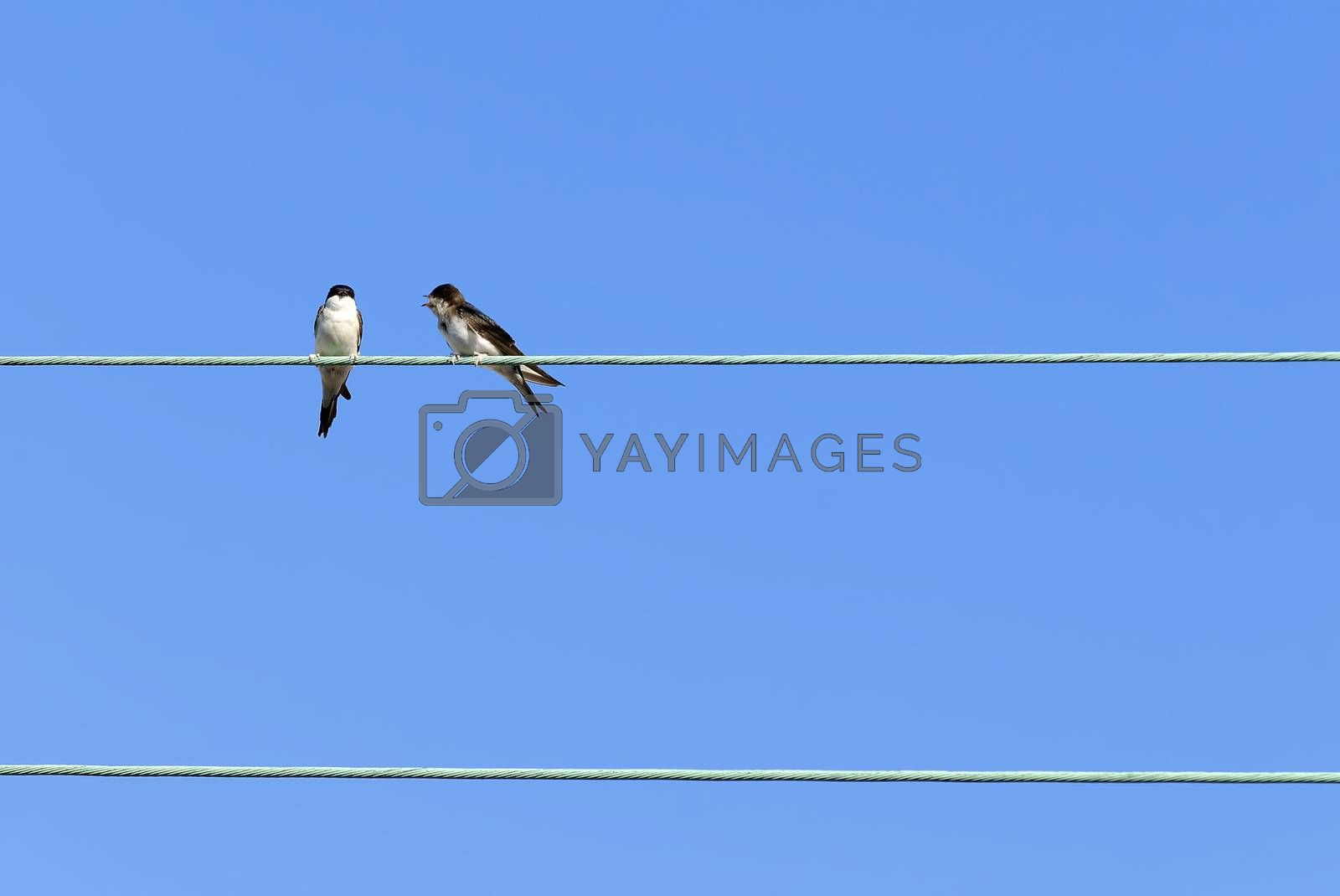 two swallows on an electrical cable