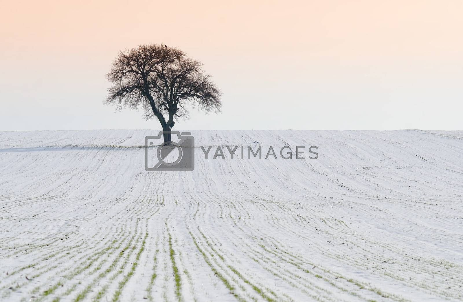 isolated tree in a snowy field