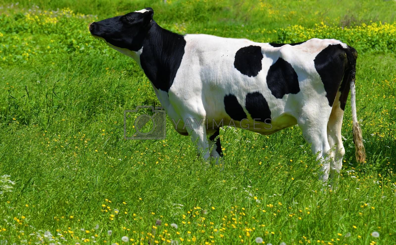 a cow in a green meadow