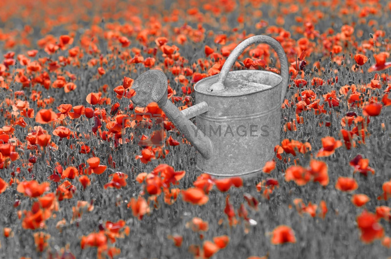 an old watering can in a poppies meadow