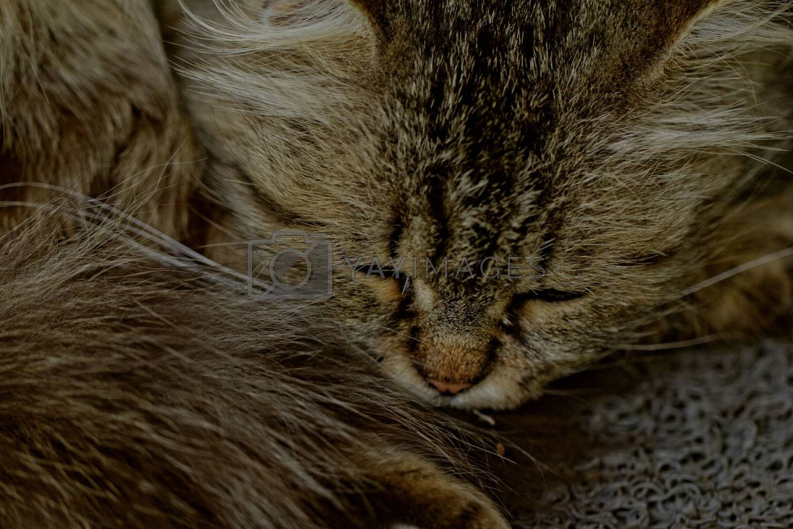 portrait about a sleeping cat