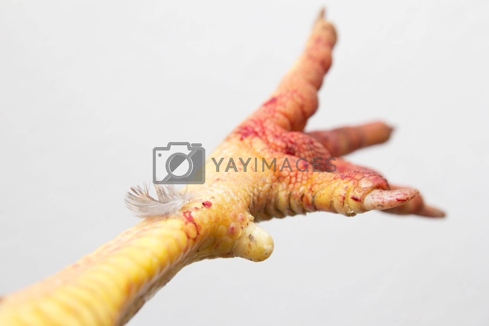 foot cock on white background