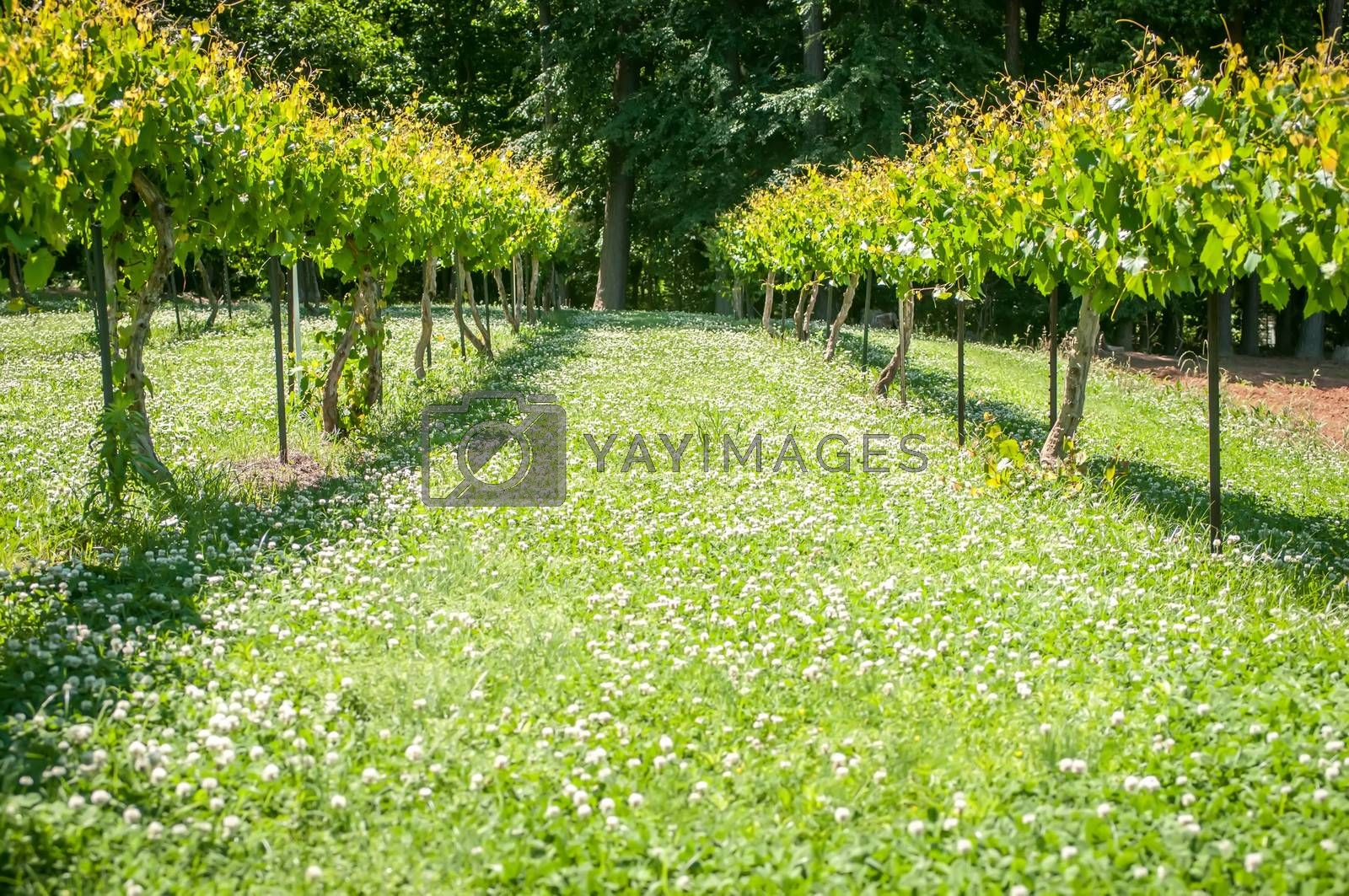 at the vineyard farm on a bright sunny day