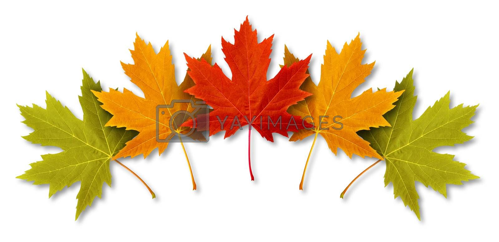 Autumn Leaves with five maple leaf foliage arranged in a multi colored seasonal themed concept as a symbol of the fall weather on a white background.