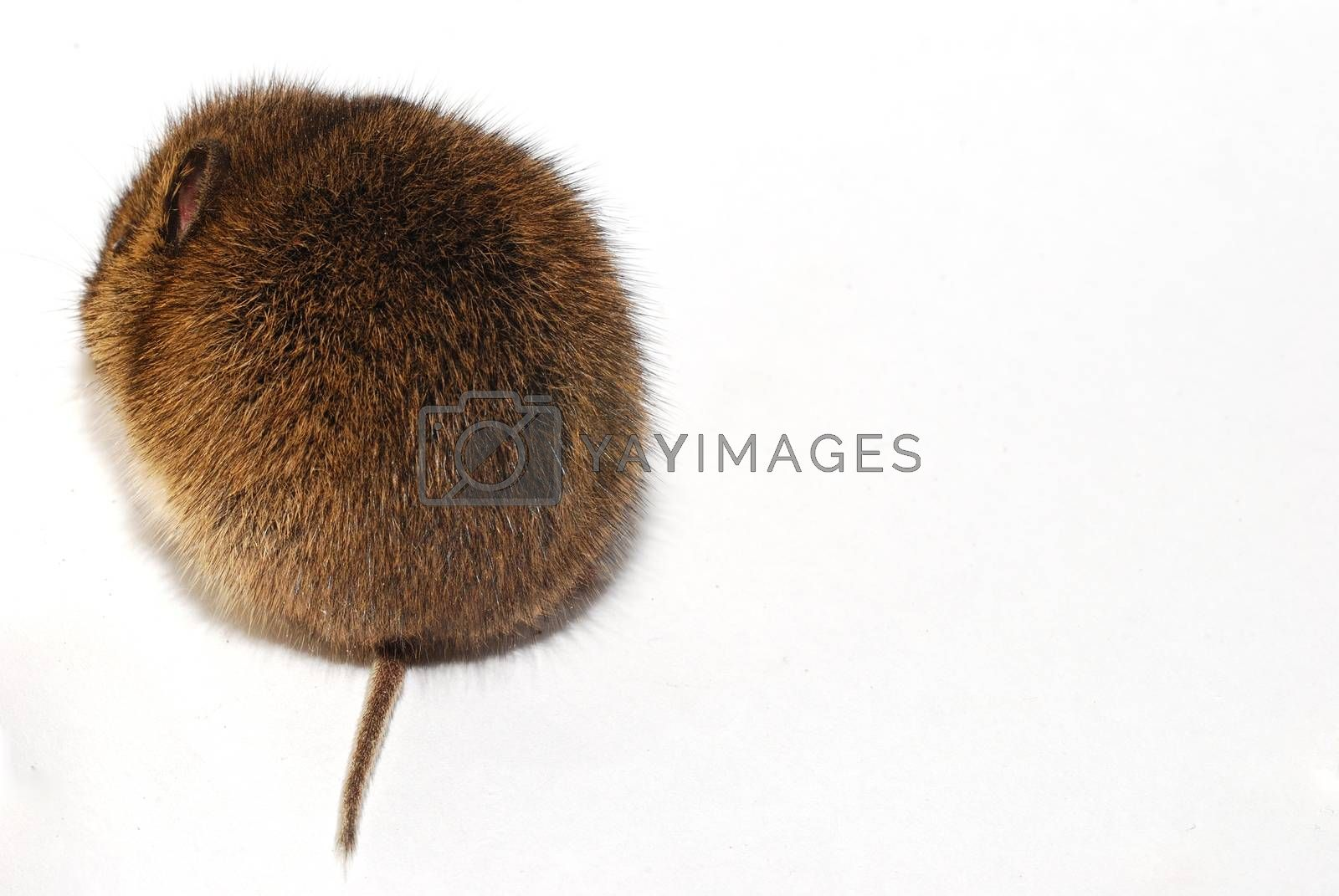 young little brown mouse on white background from behind