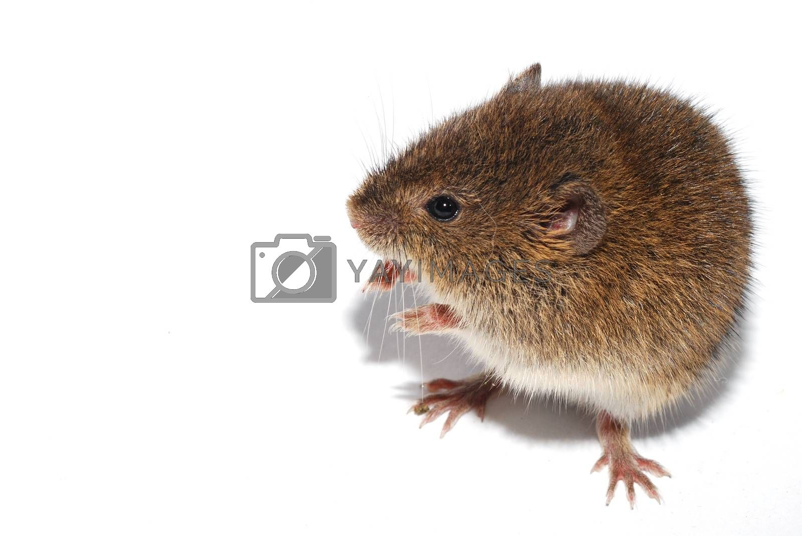 young little brown mouse sitting right and looks