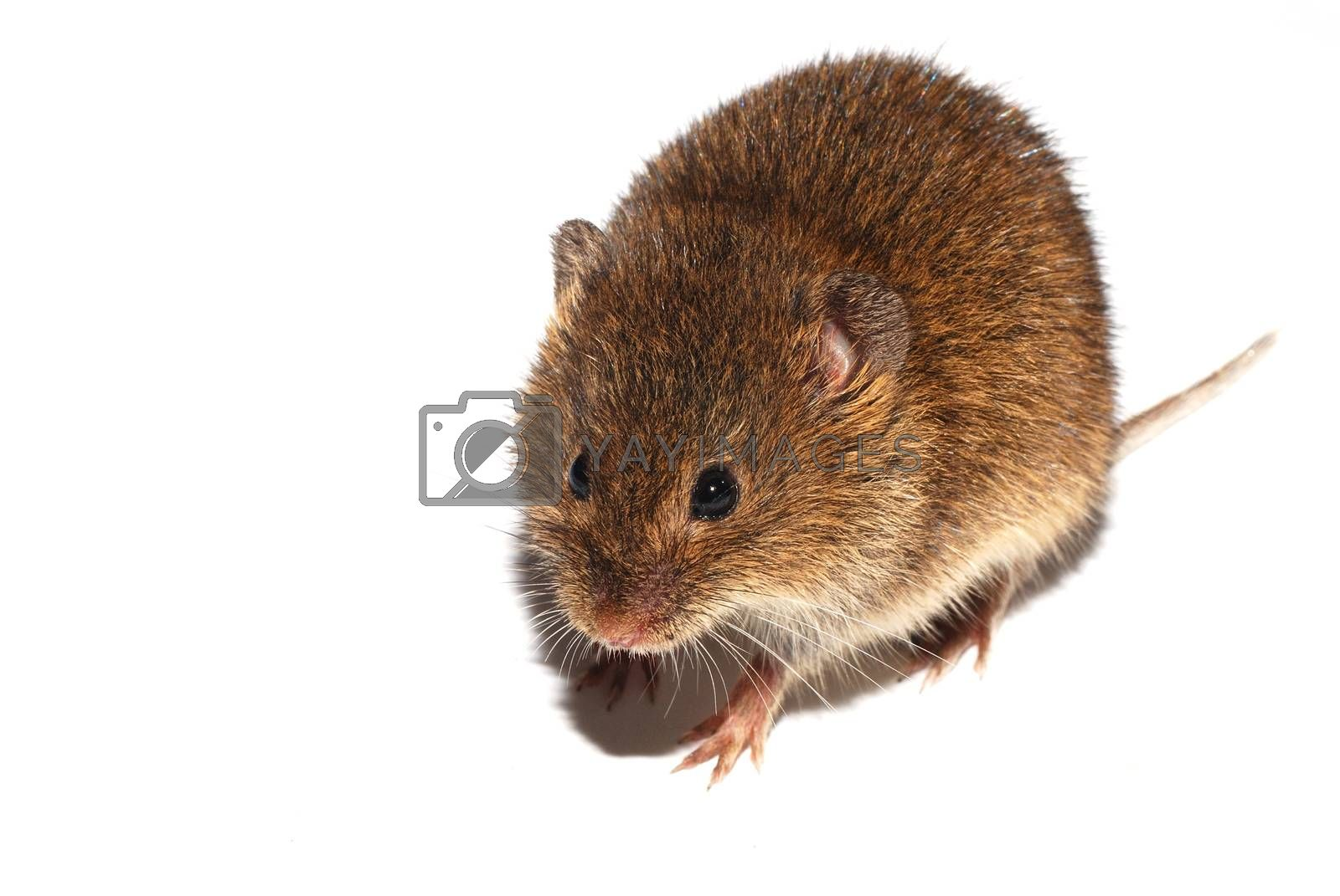 young little brown mouse walking on white background