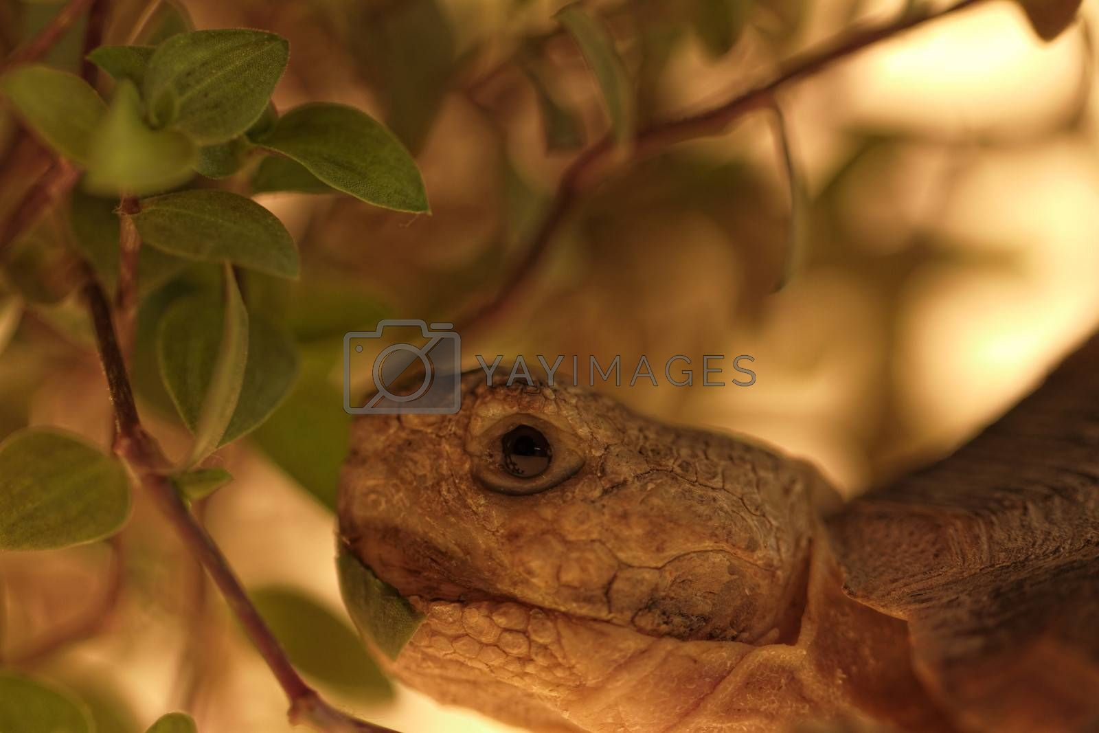 African Spurred Tortoise (Geochelone sulcata) isolated