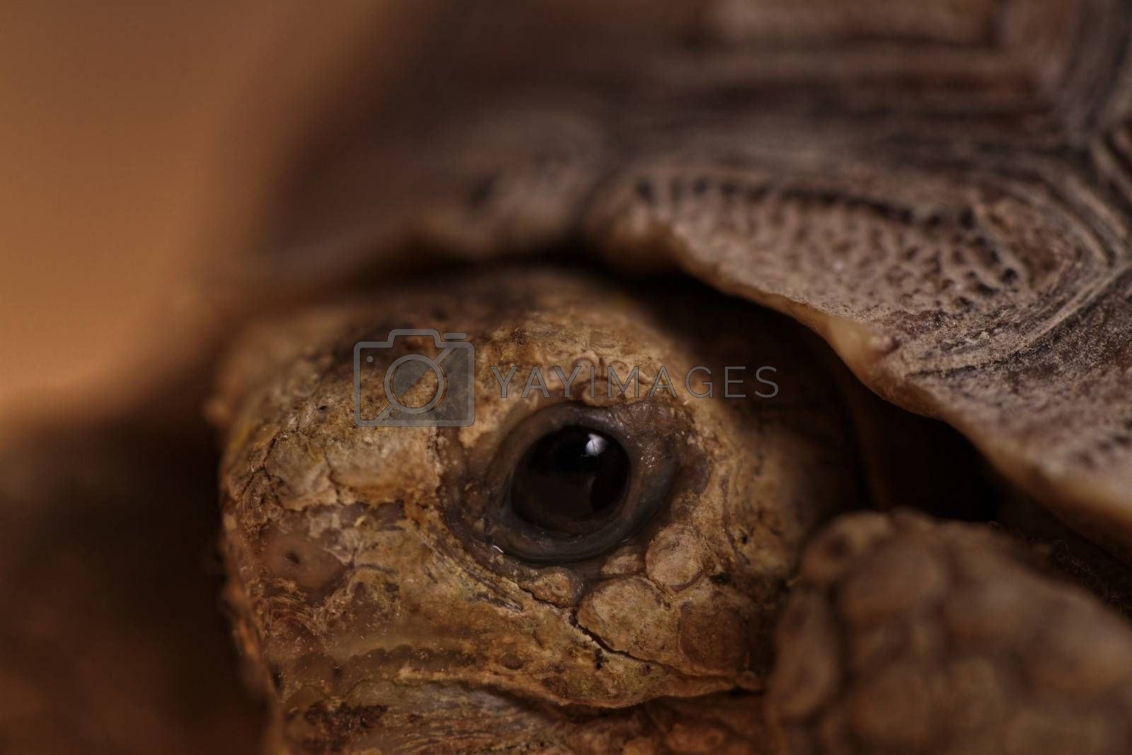 African Spurred Tortoise eye macro (close-up)