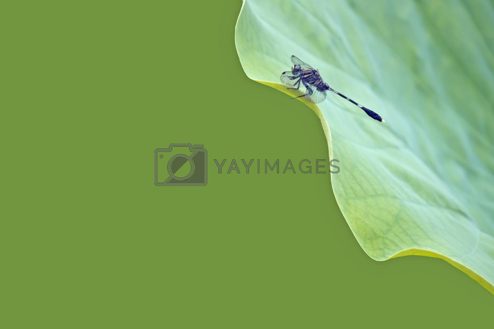 Dragonfly rest on the leaves of the lotus