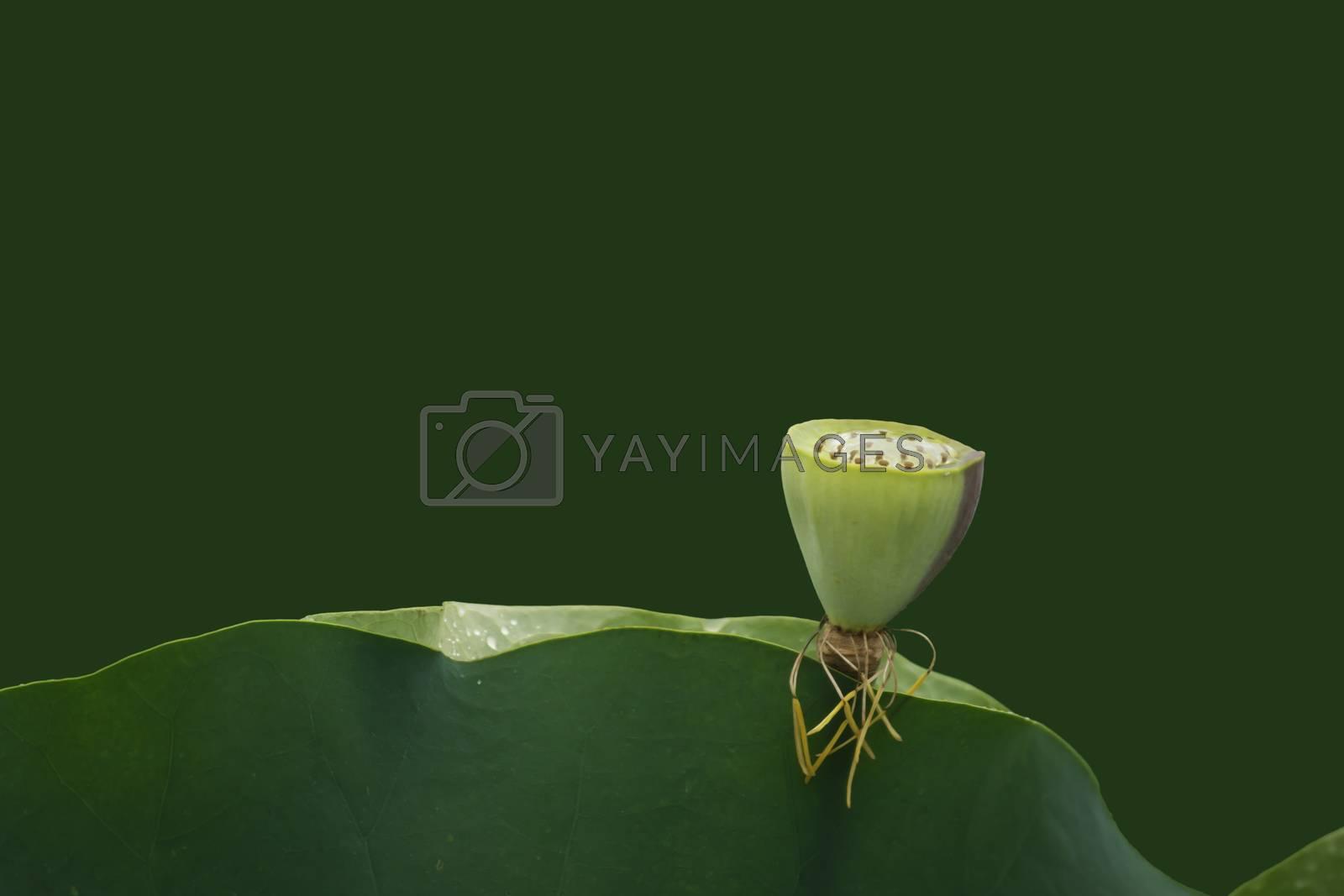 Lotus flower closeup