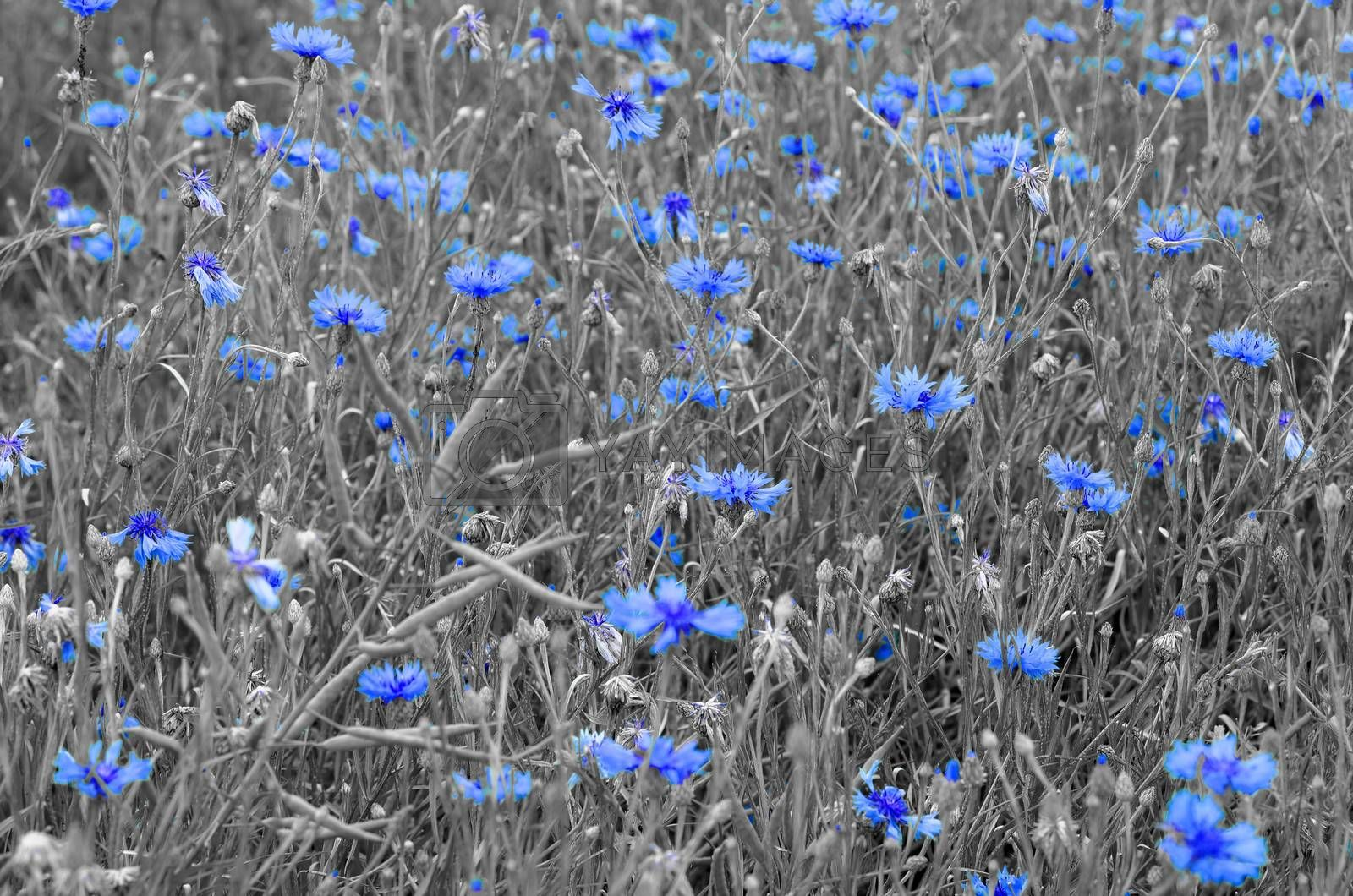 cornflower on grey background