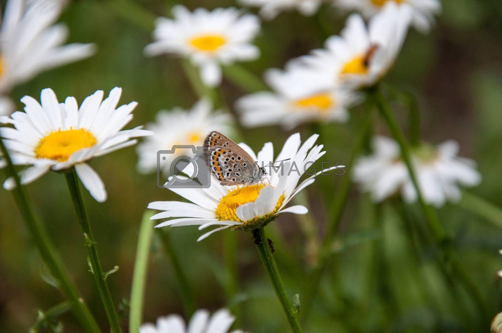 Camomile and the small Butterfly