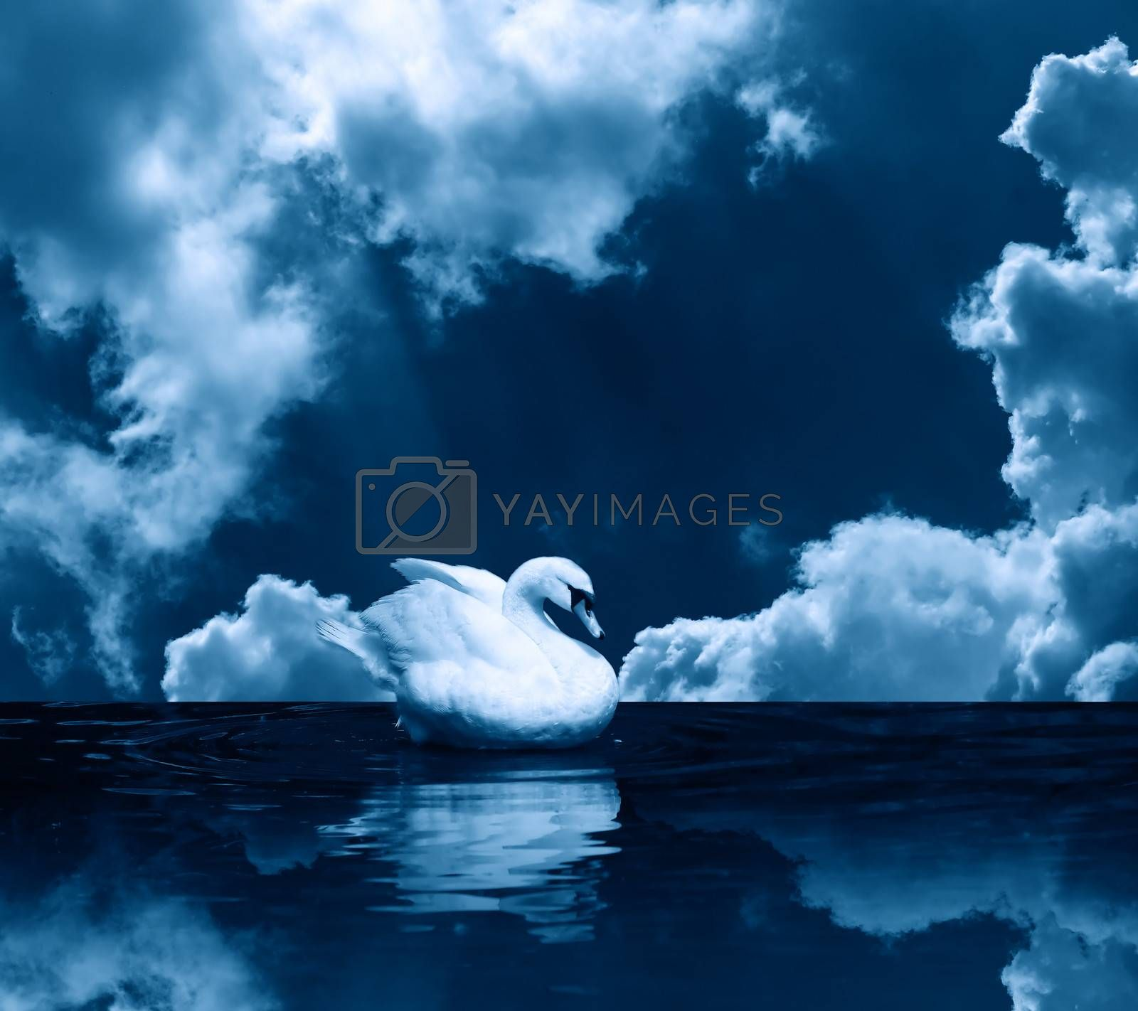 Romance symbol. Beautiful white swan on water surface under clouds