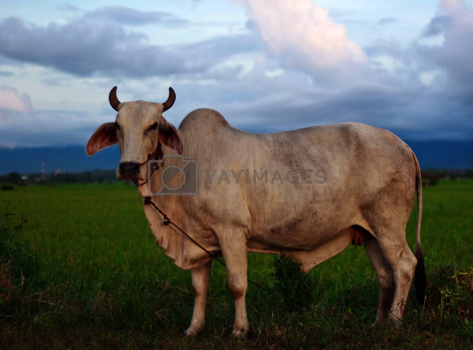 White cows on a farmland