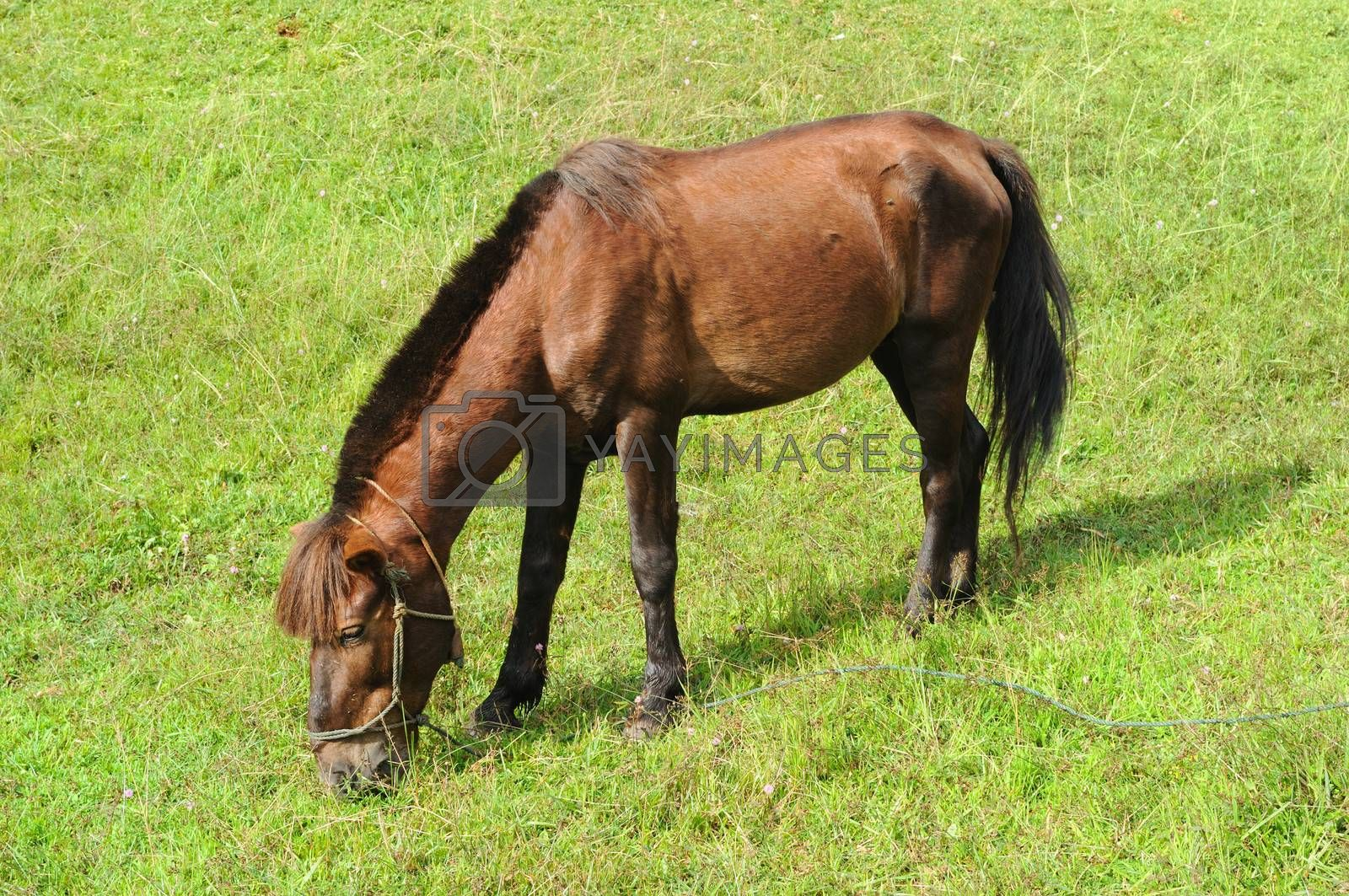 Royalty free image of Thai Horse by letoakin
