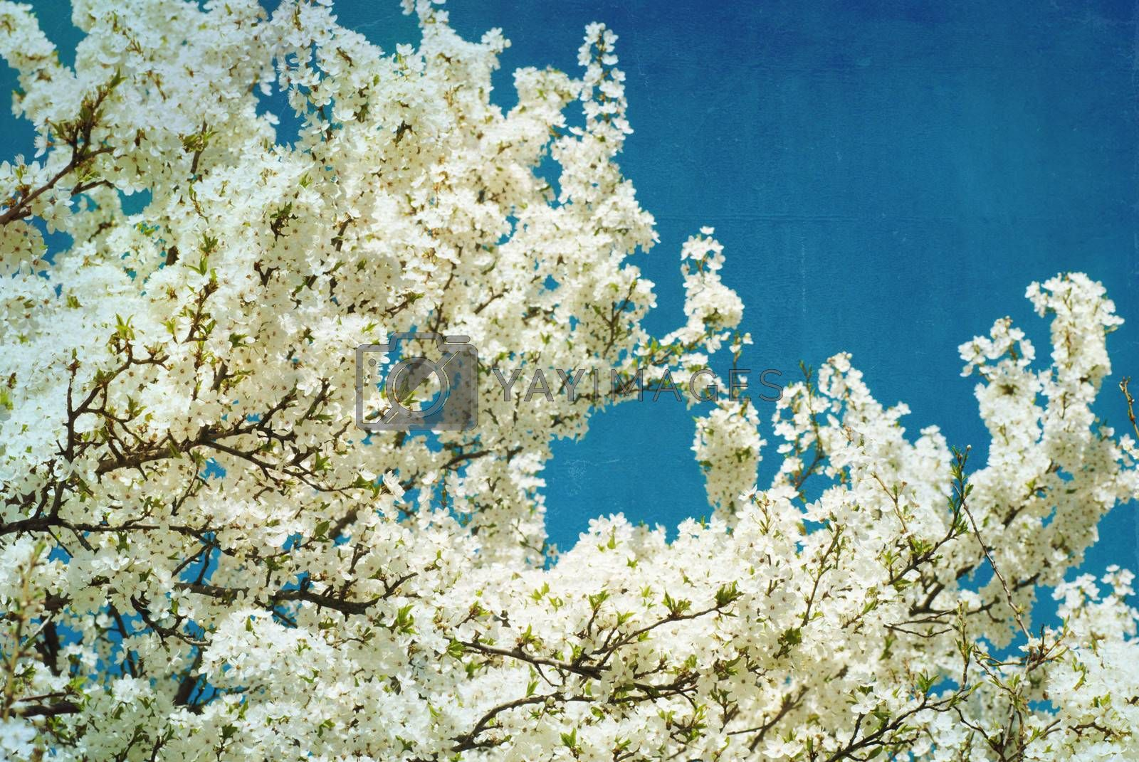 Royalty free image of spring flowering tree on blue textured sky by Zhukow