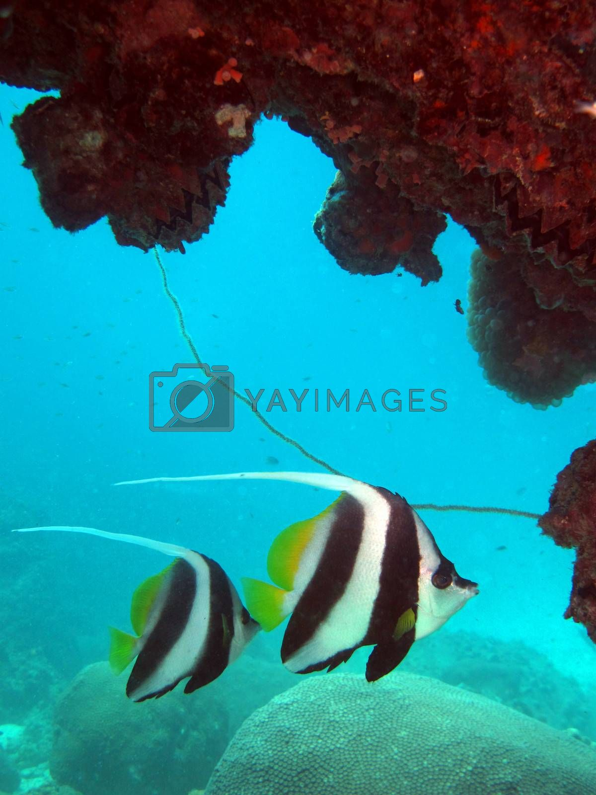 Royalty free image of two bannerfish by AdrianKaye