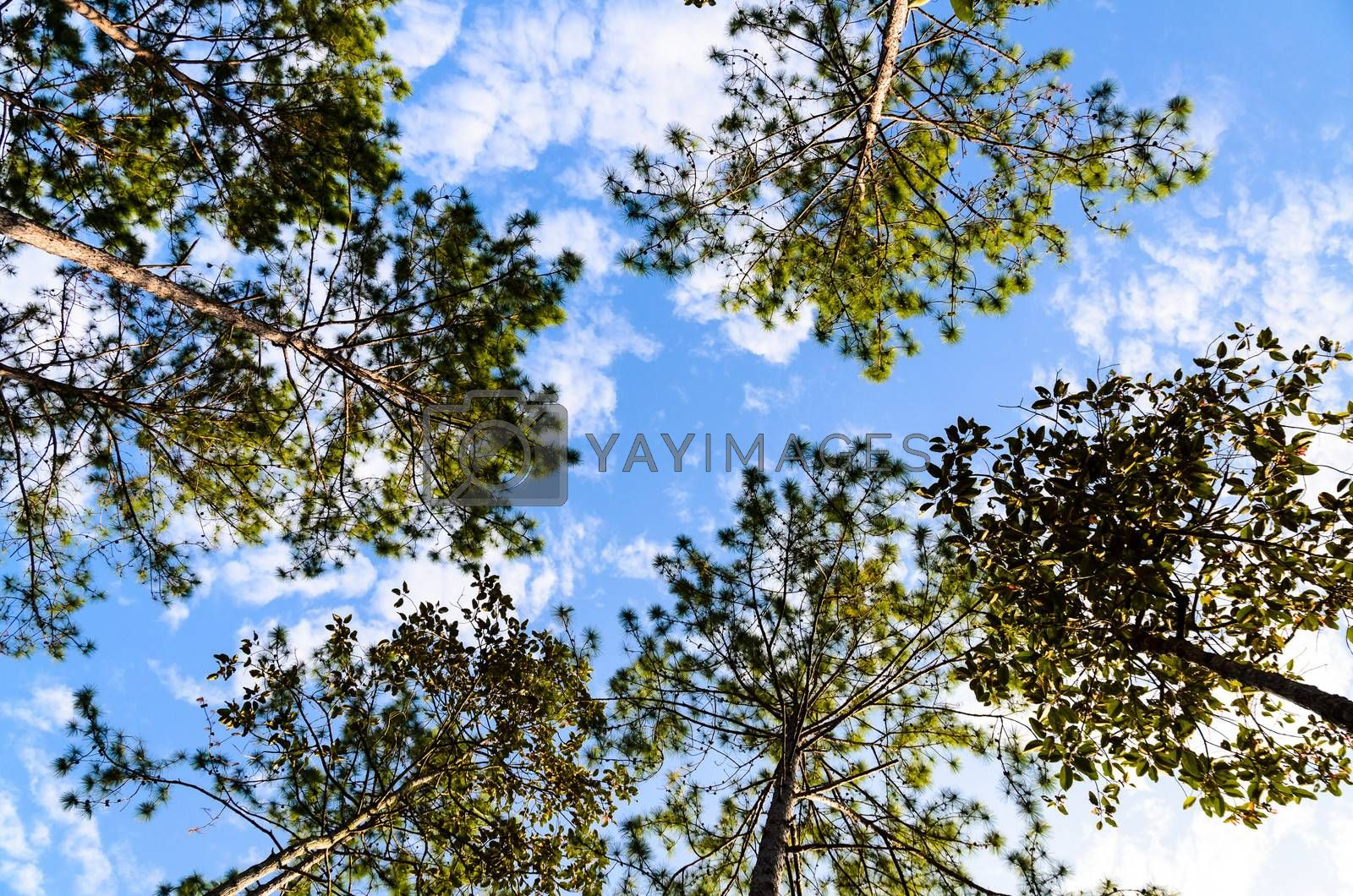 Royalty free image of Pine Forest under Blue Sky and Cloud in National Park by finallast