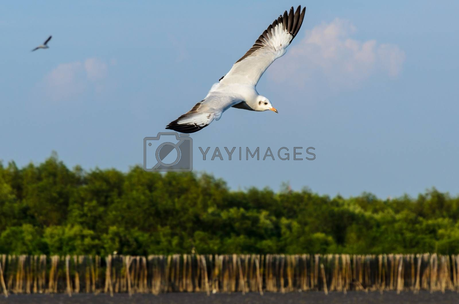 Royalty free image of Brown-headed gull in Mangrove forest with blue sky by finallast