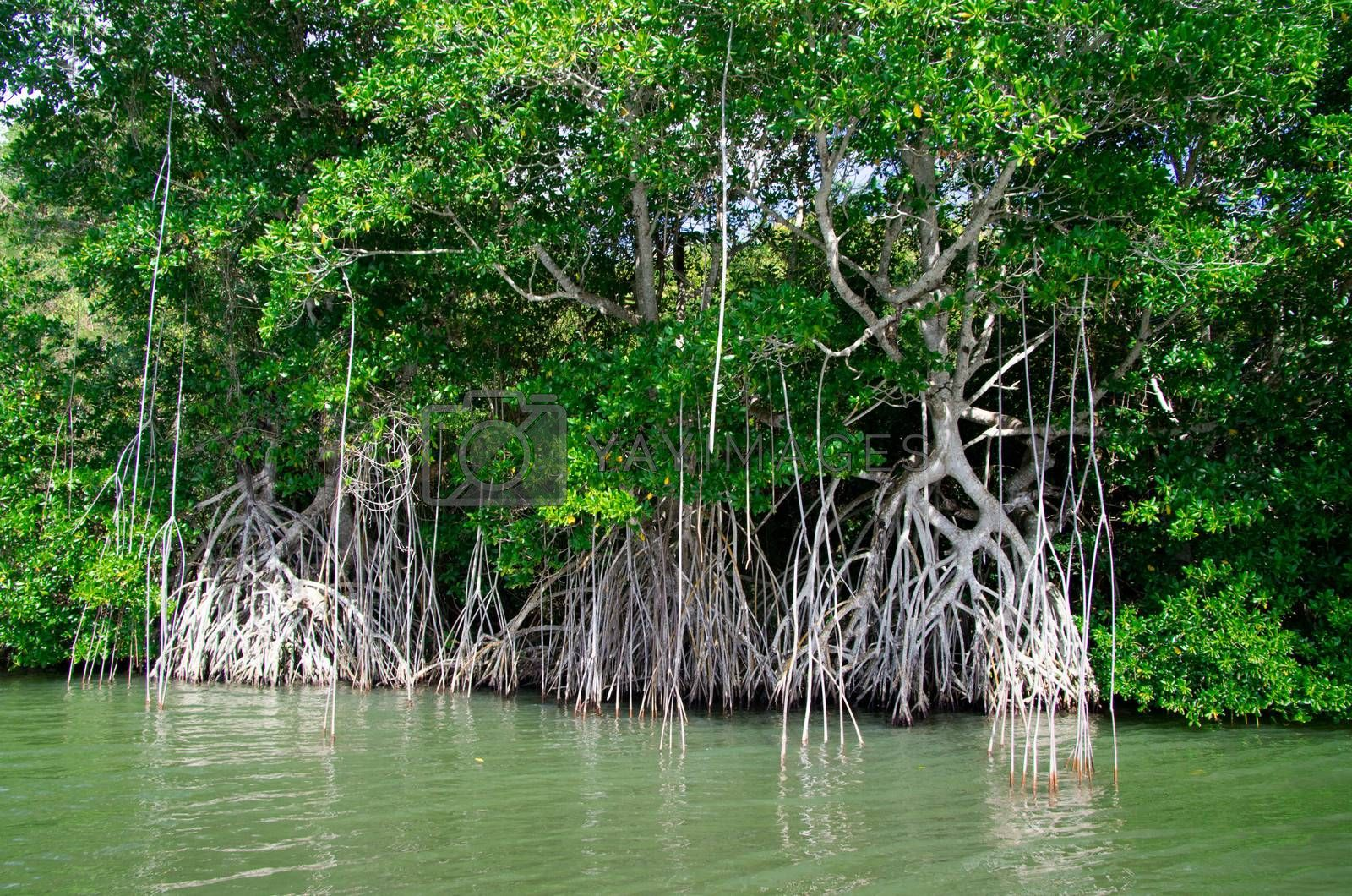 Royalty free image of mangrove trees  by Pakhnyushchyy
