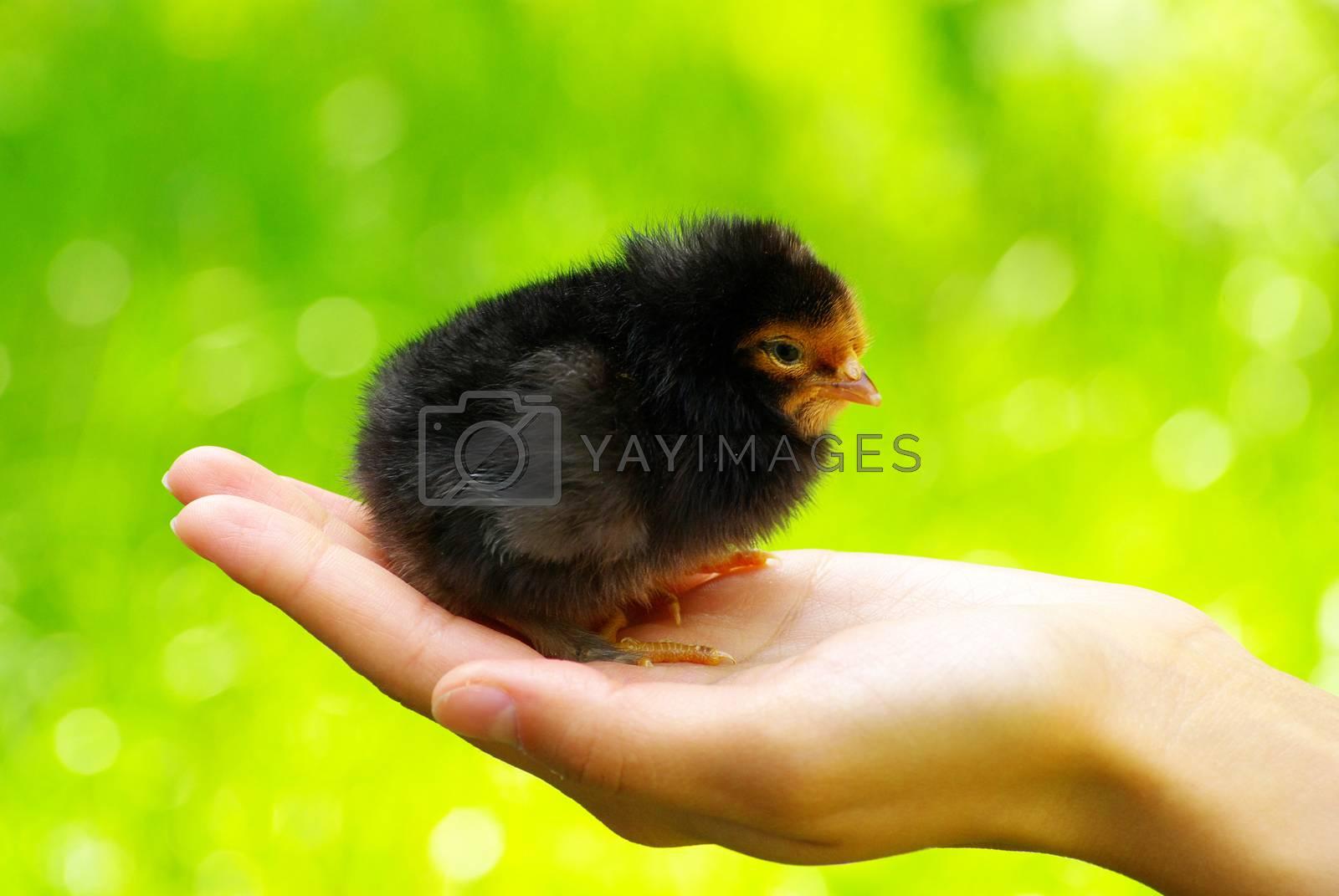 Royalty free image of chicken in hand by Pakhnyushchyy