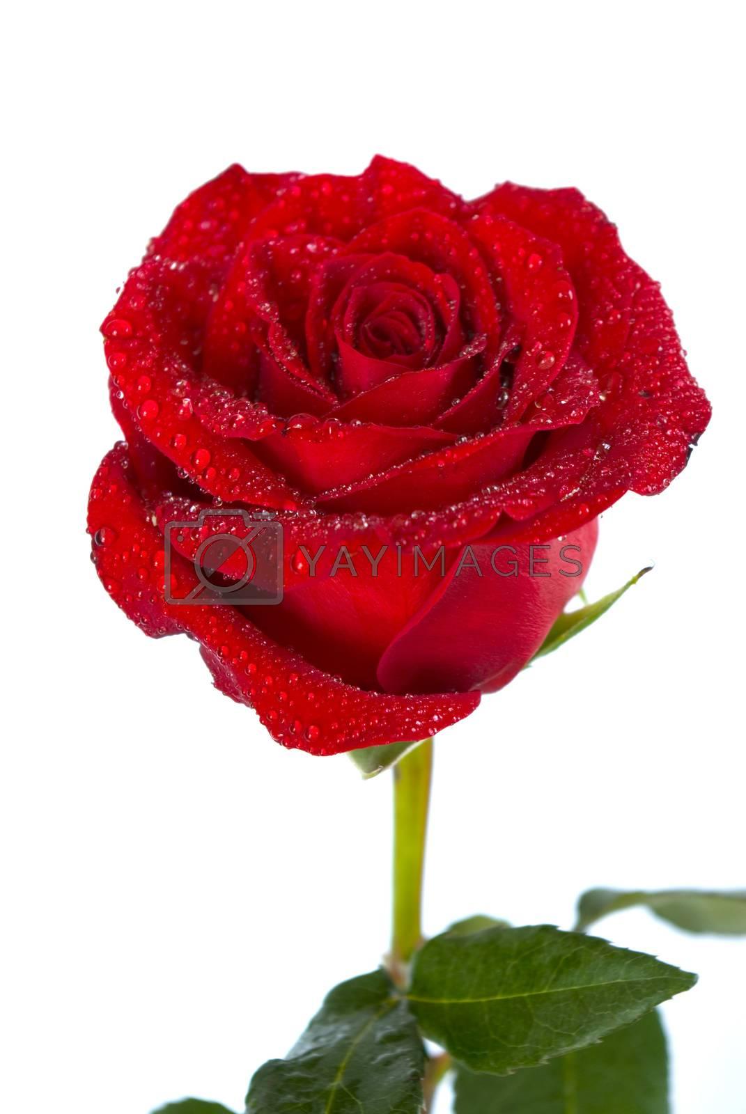 Royalty free image of red rose by Pakhnyushchyy