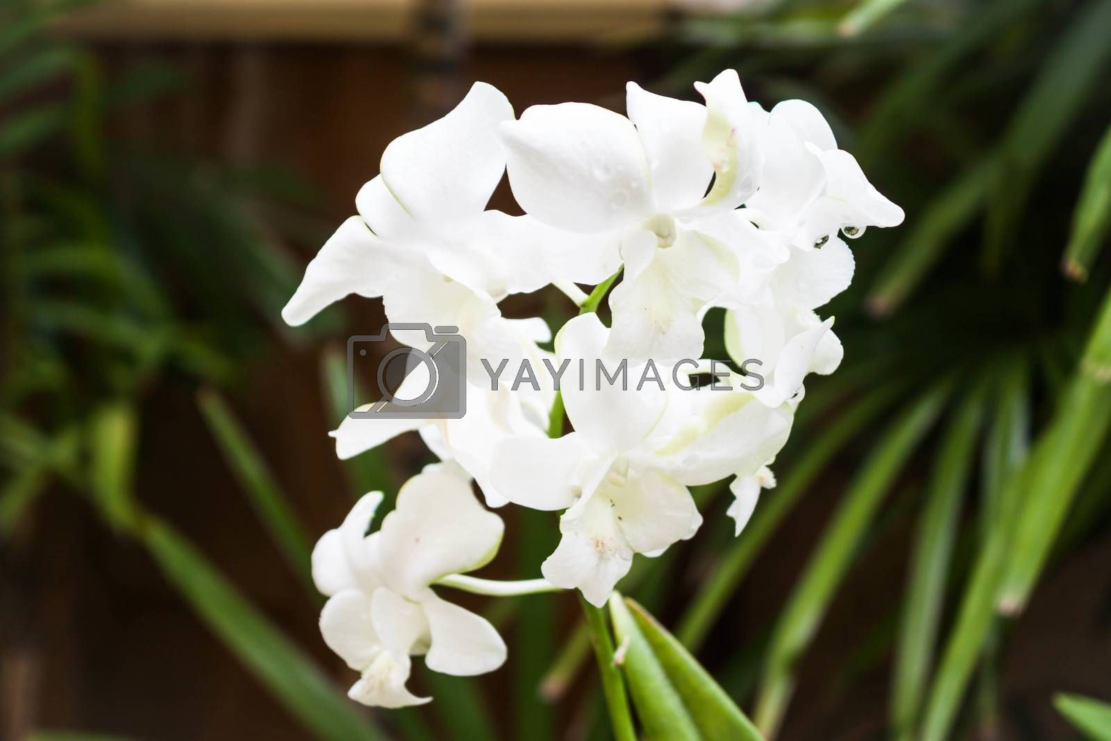 Close up white orchid on green background