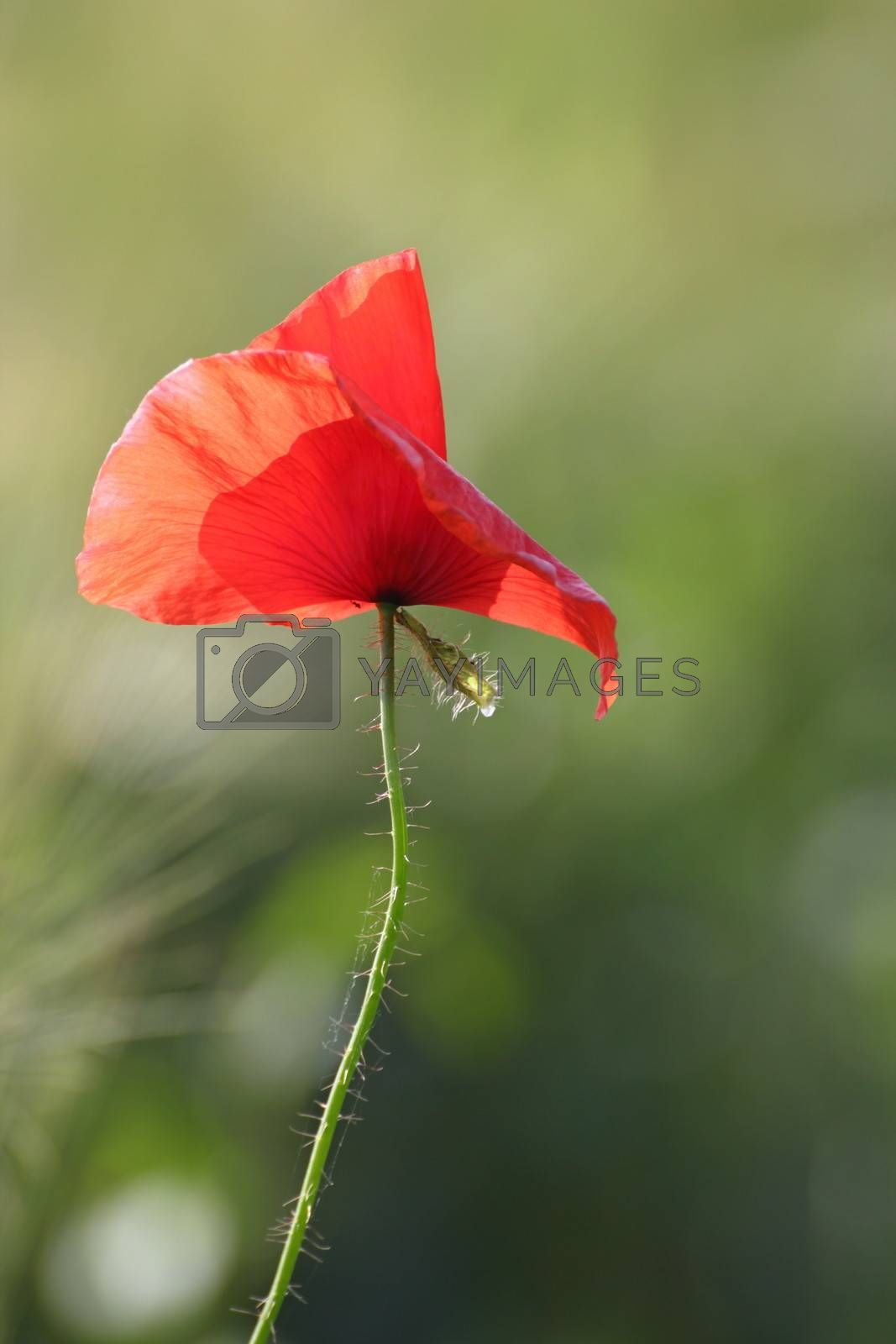 red poppy blown by the wind by taviphoto