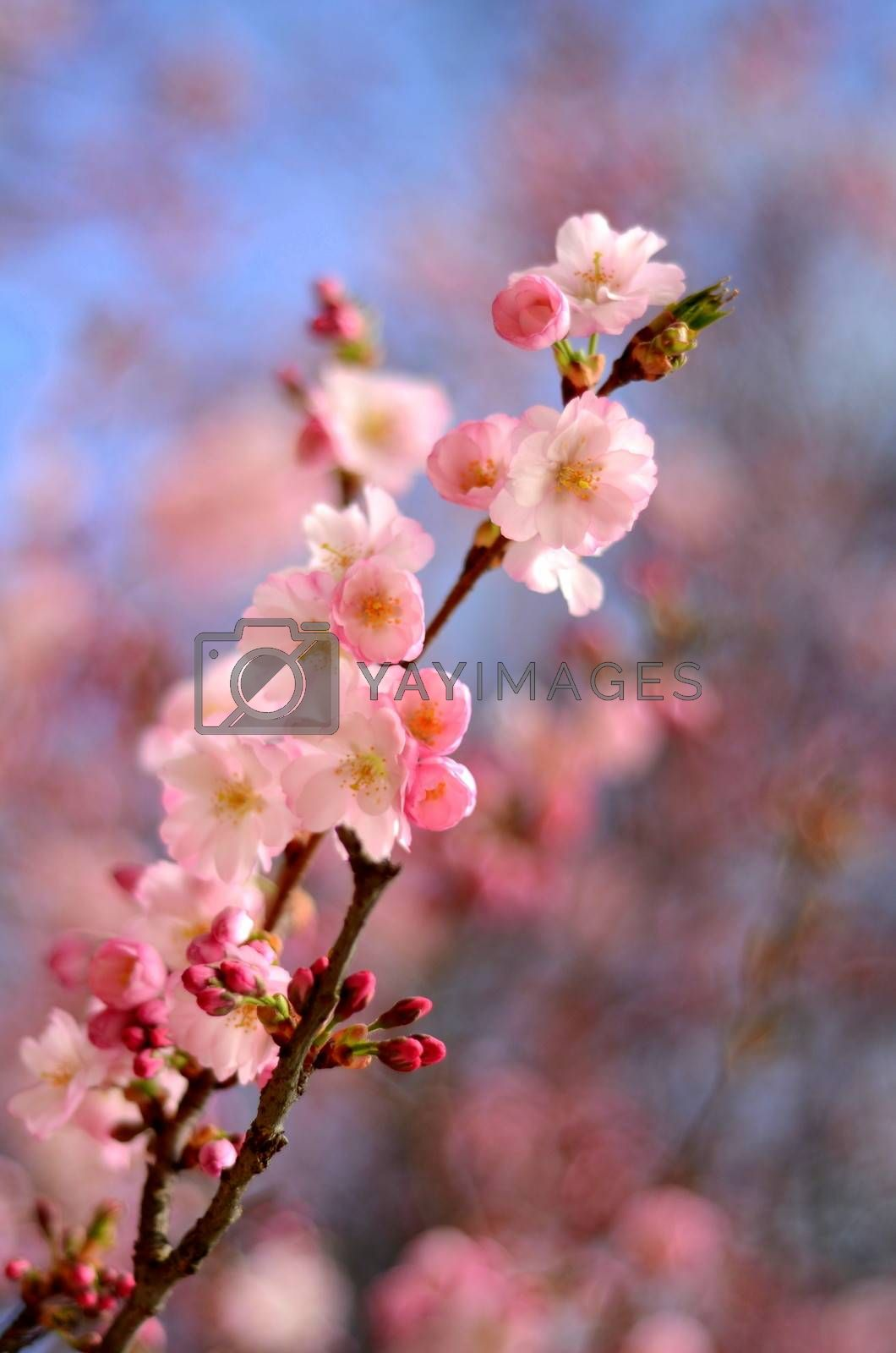 Spring Image Of Pink Blossom Flower With Shallow Depth Of Focus