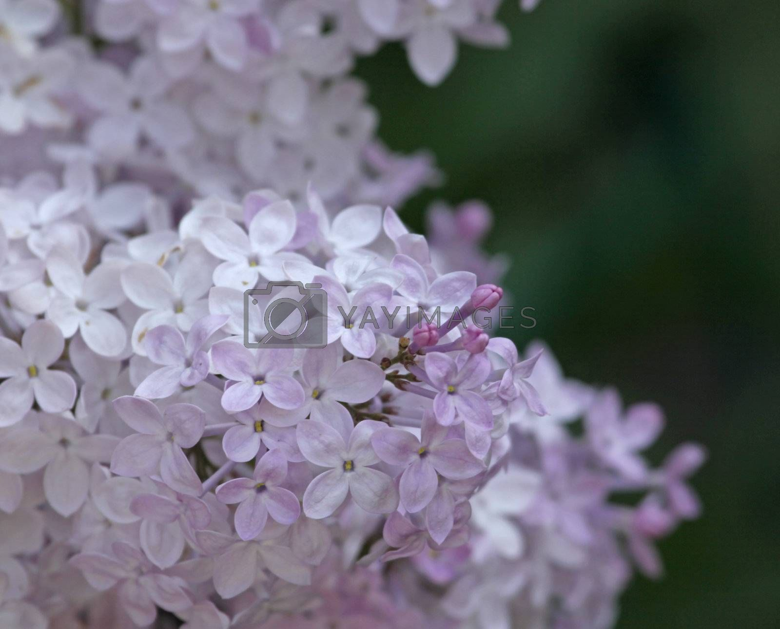 A close-up of light purple Lilac (Syringa) flowers blooming.