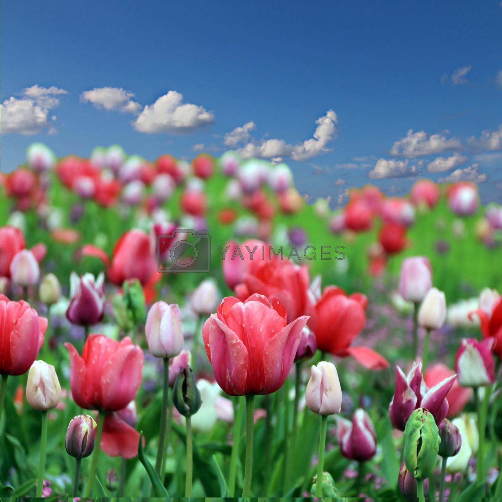 Spring tulip flowers on blue sky background