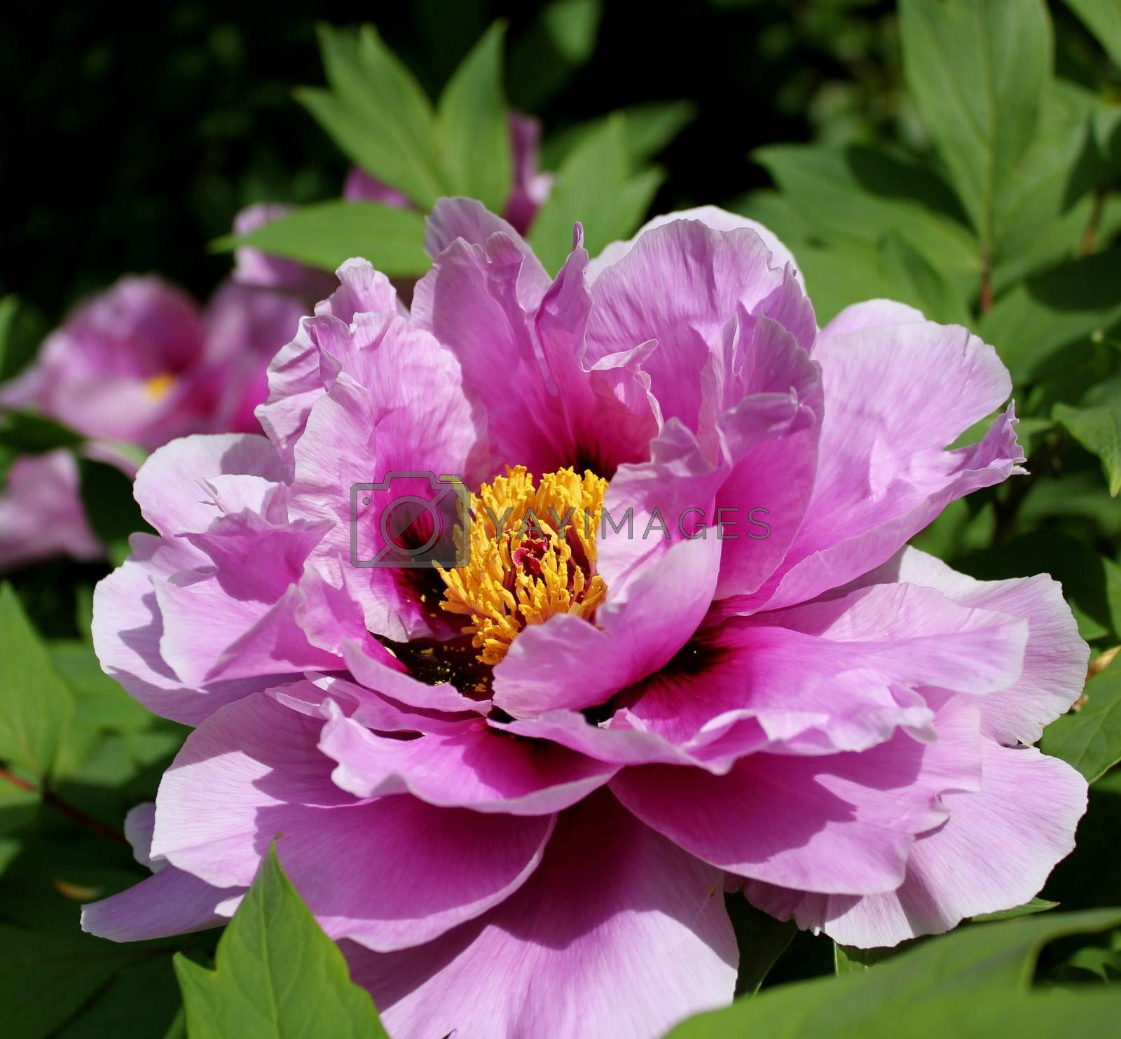 A closeup of a fully open pink peony, showcasing its delicate yellow centre.