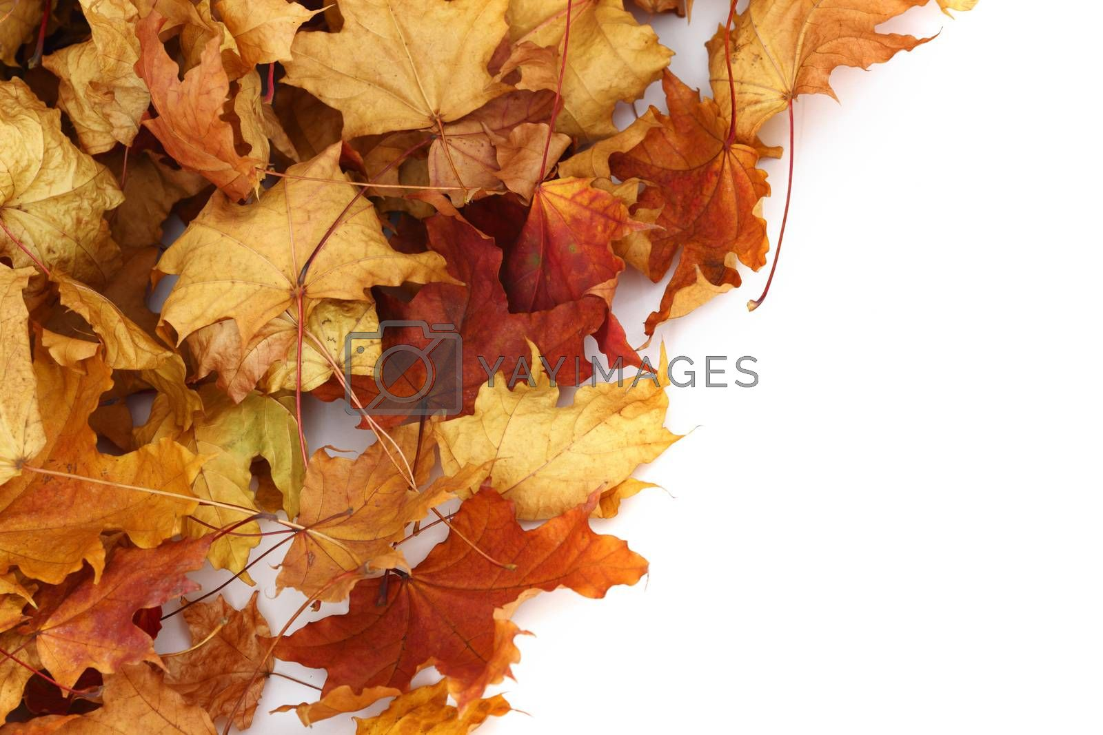 autumn leaves isolated in studio