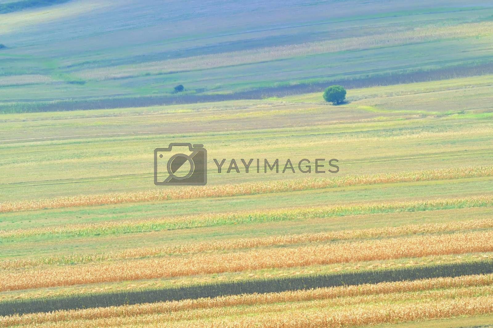 summer field stripes