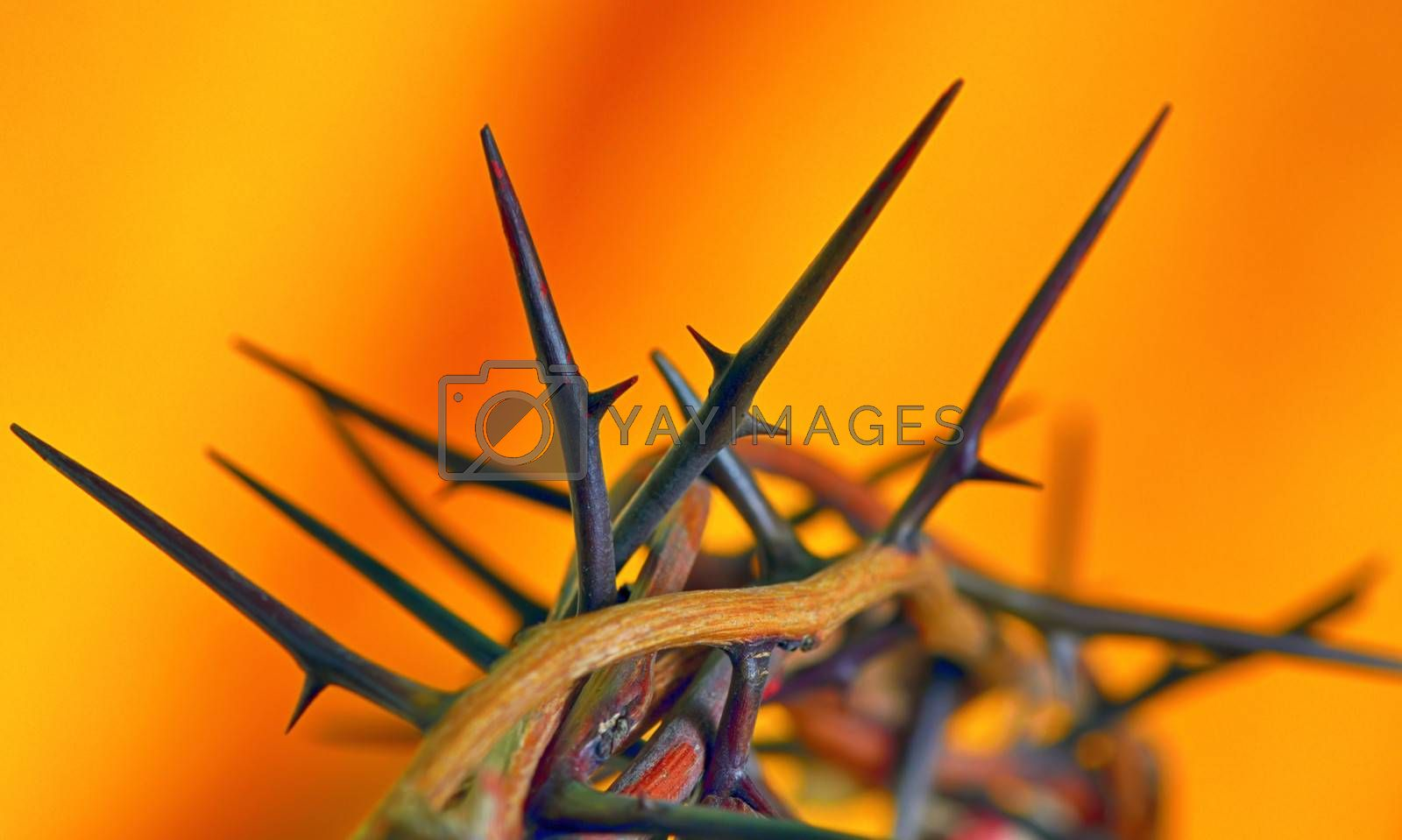 Crown of Thorns on orange background,  isolated