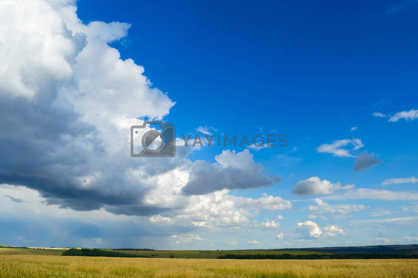 Beautiful Wheat Field under Blue Sky with Dramatic Clouds