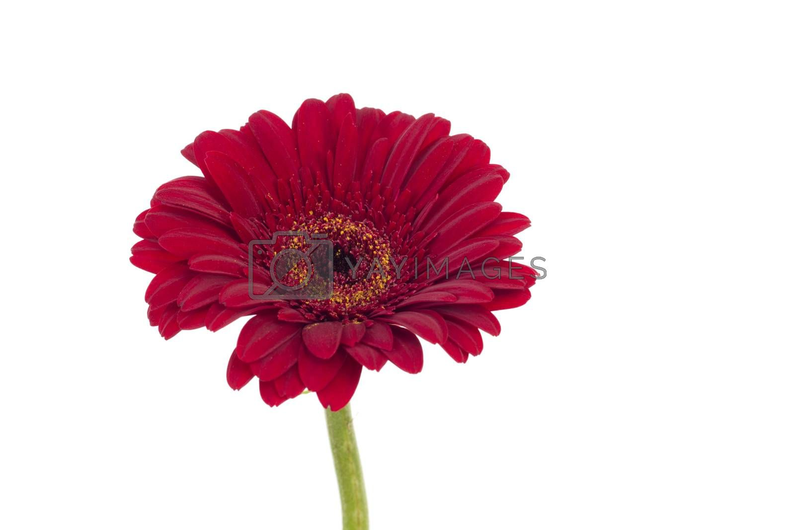 Single red gerbera isolated on white background