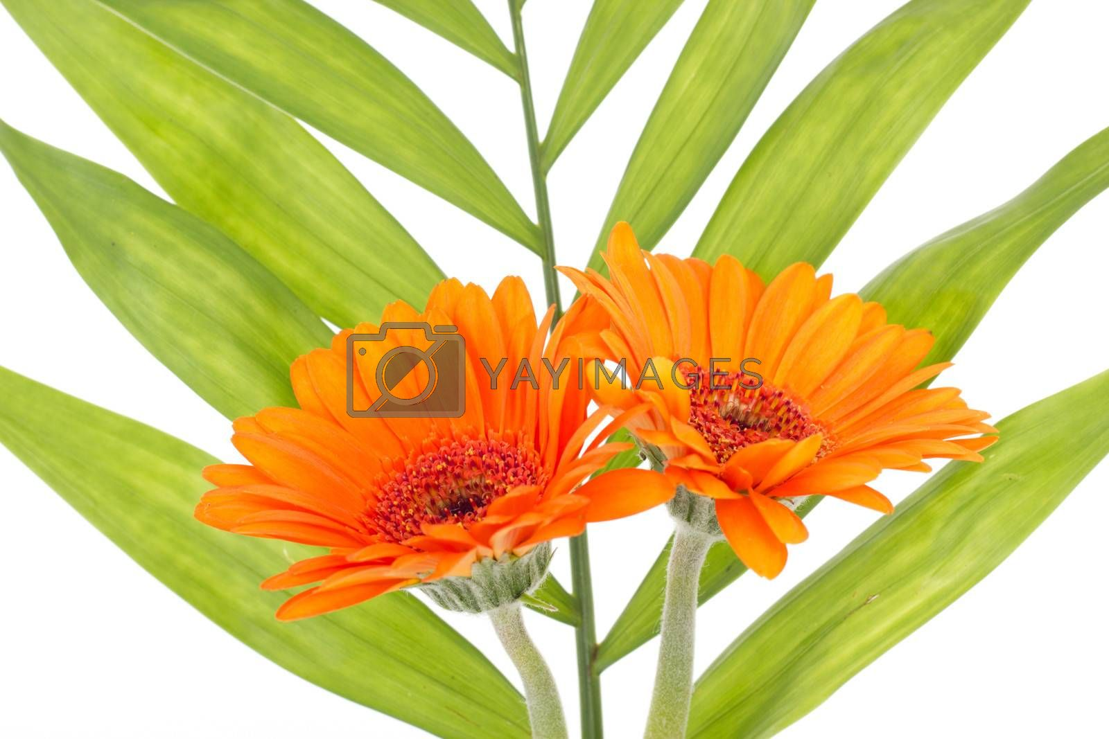 Two orange gerberas with green leaf in the background