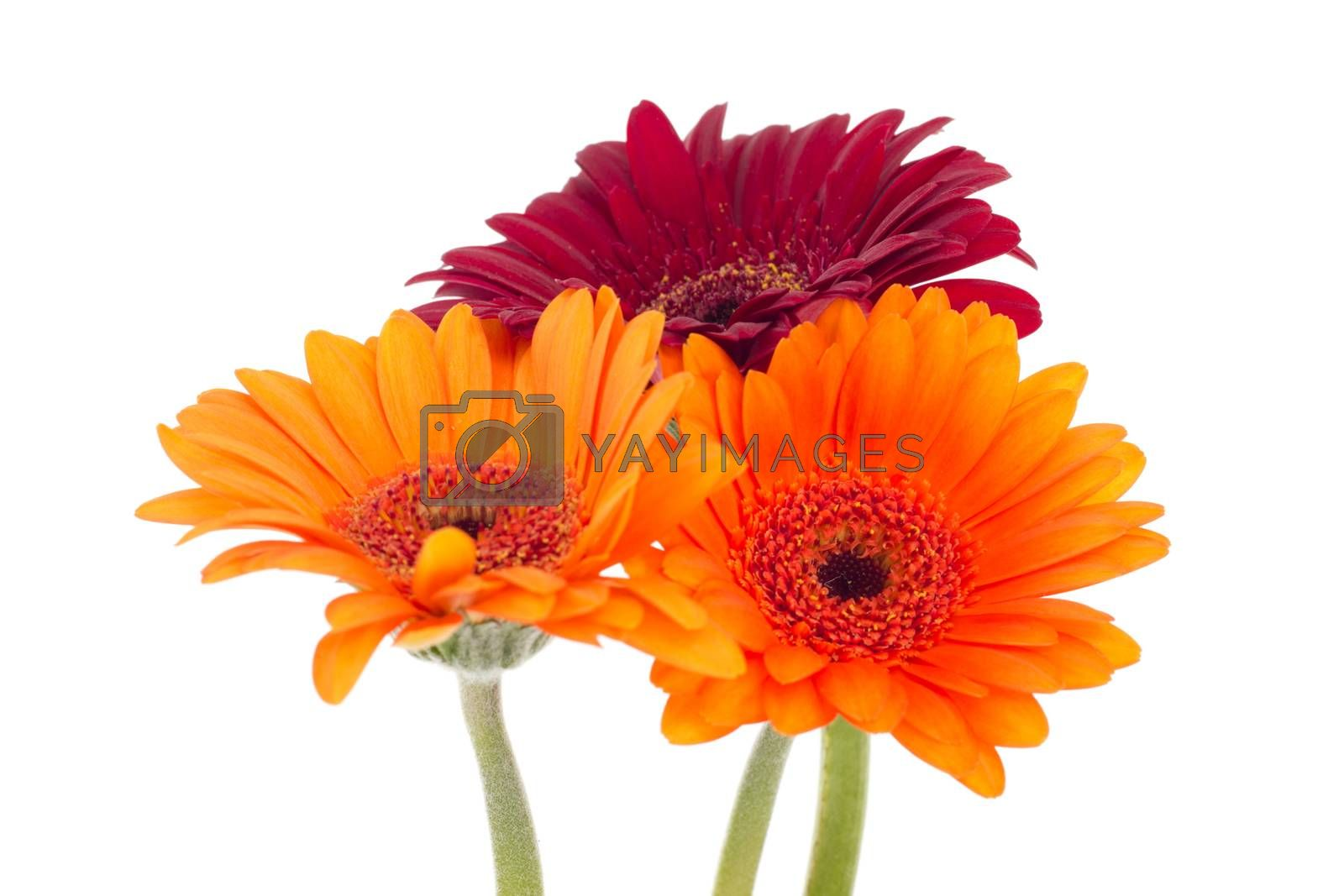 Three colorful gerberas isolated on white background
