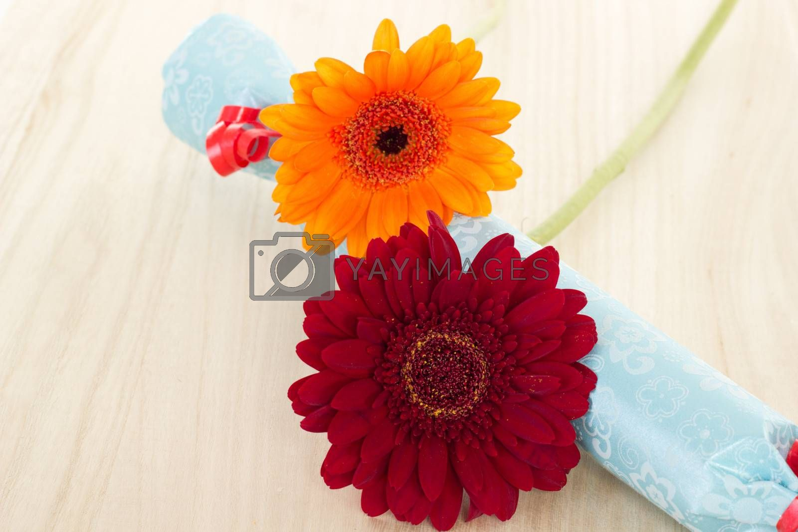 Two beautiful and colorful gerberas with blue gift