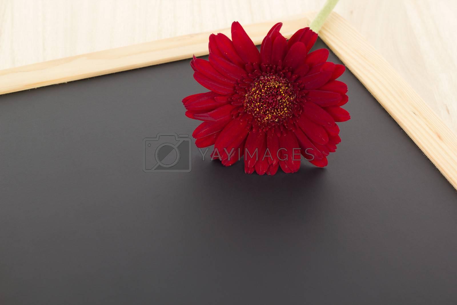 Single red gerbera on blank blackboard