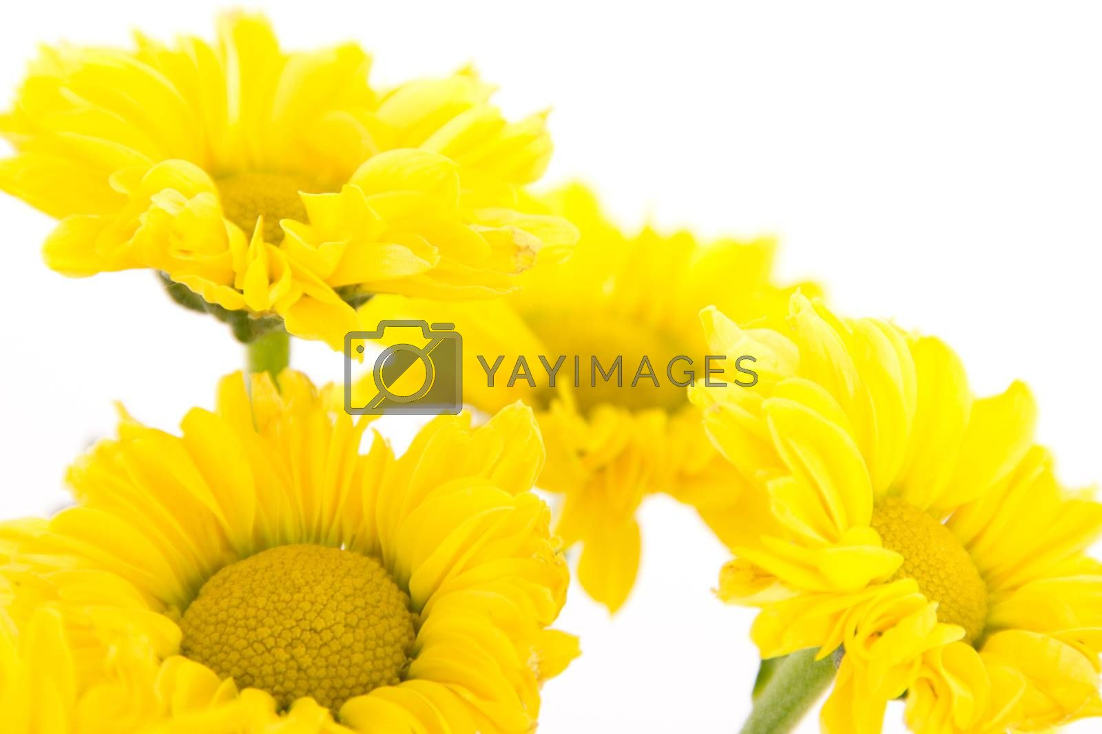 Four yellow chrysanthemums on white background