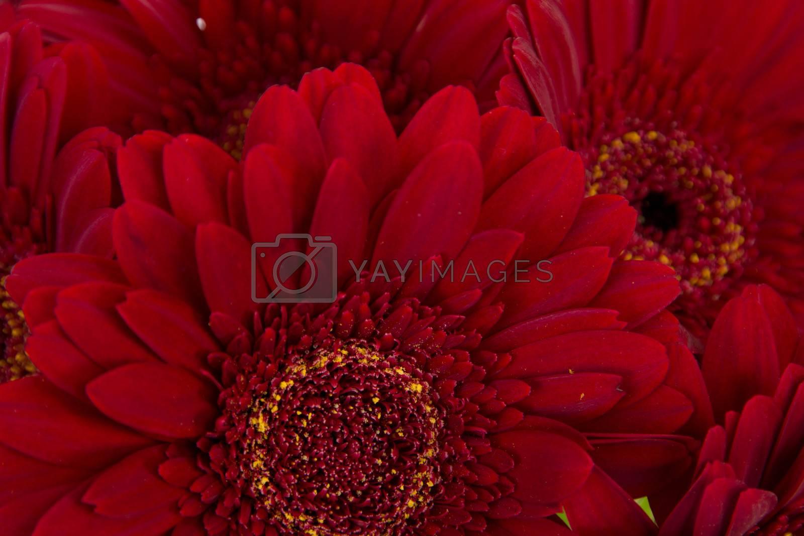 Close-up of five beautiful red gerberas