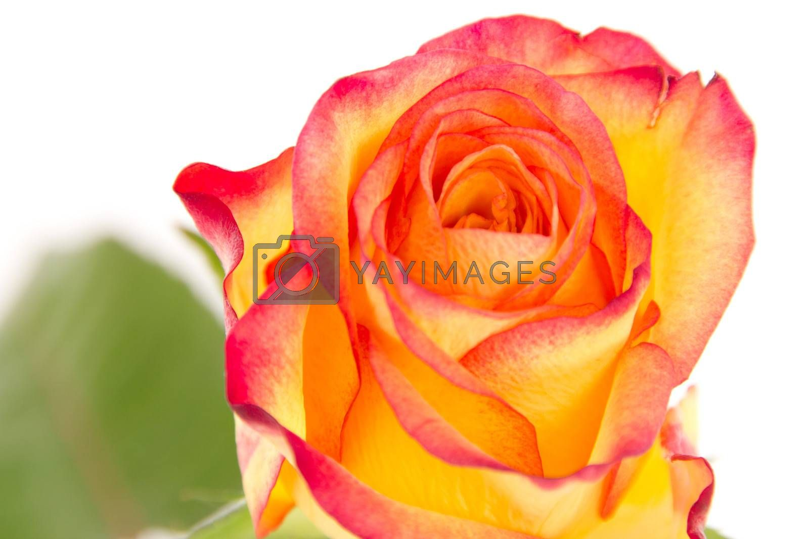 Close-up of beautiful red orange rose