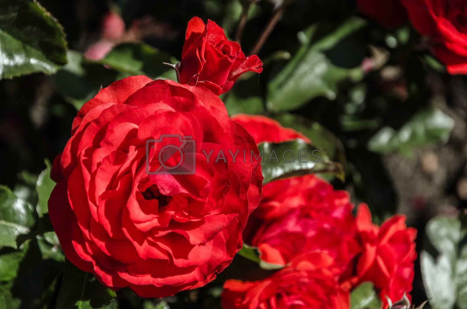A red rose in the International Rose Test Garden in Portland, Oregon