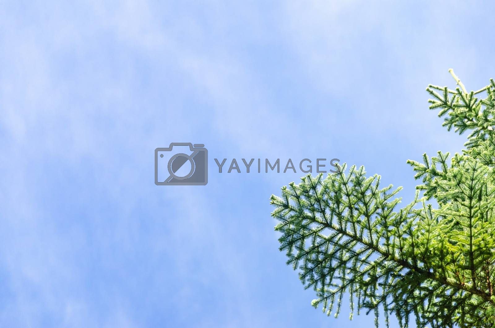 Blue sky and a green pine tree branch