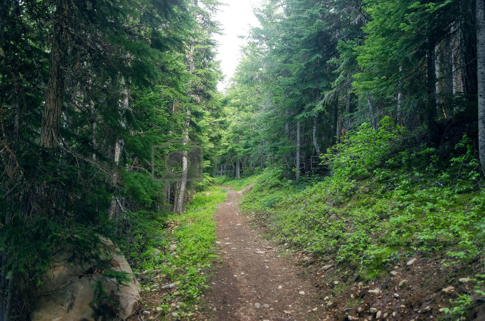 Path running through an evergreen forest in Oregon