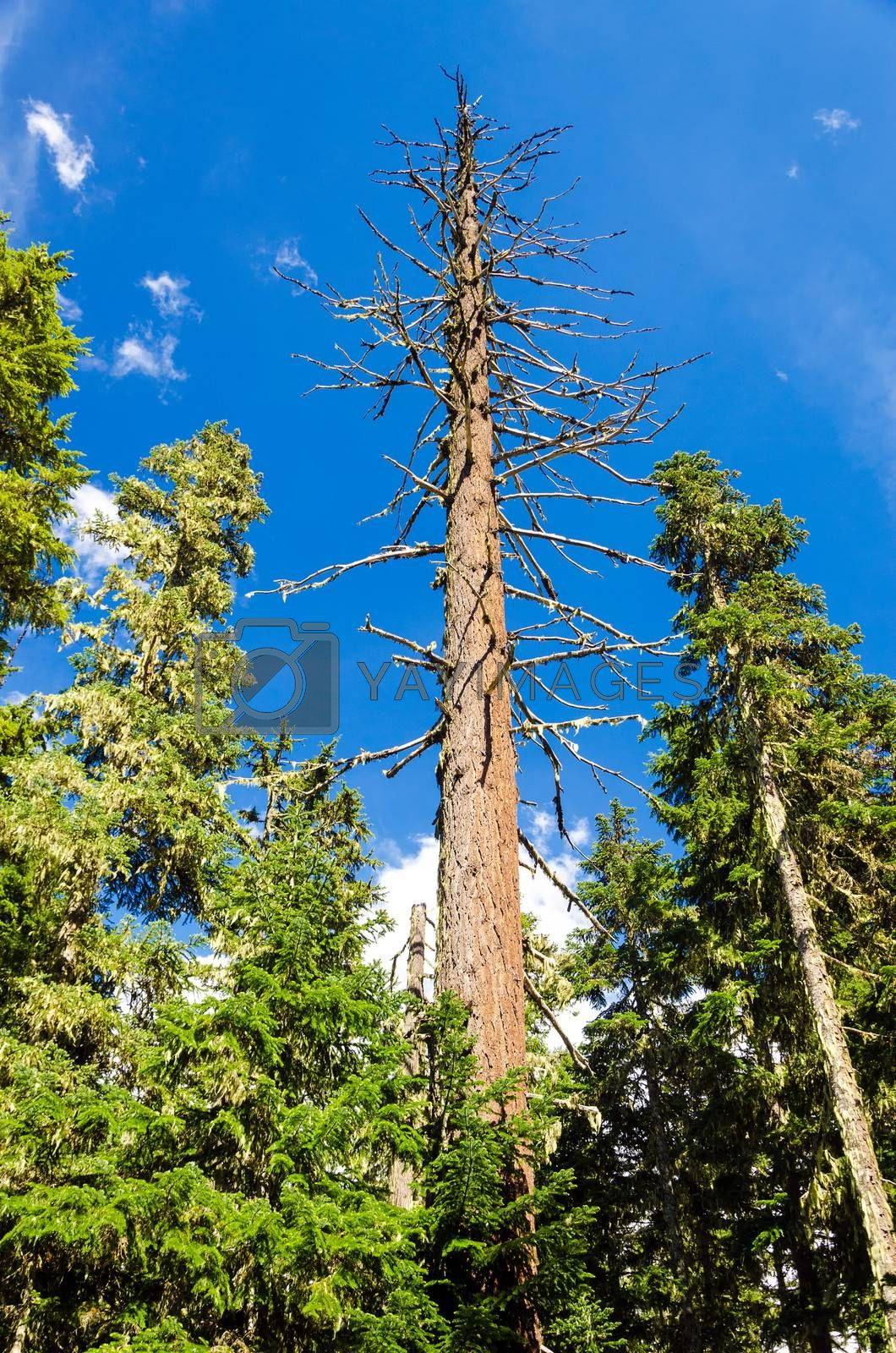 Dead pine tree rising high above living pine trees in Mt. Hood National Forest