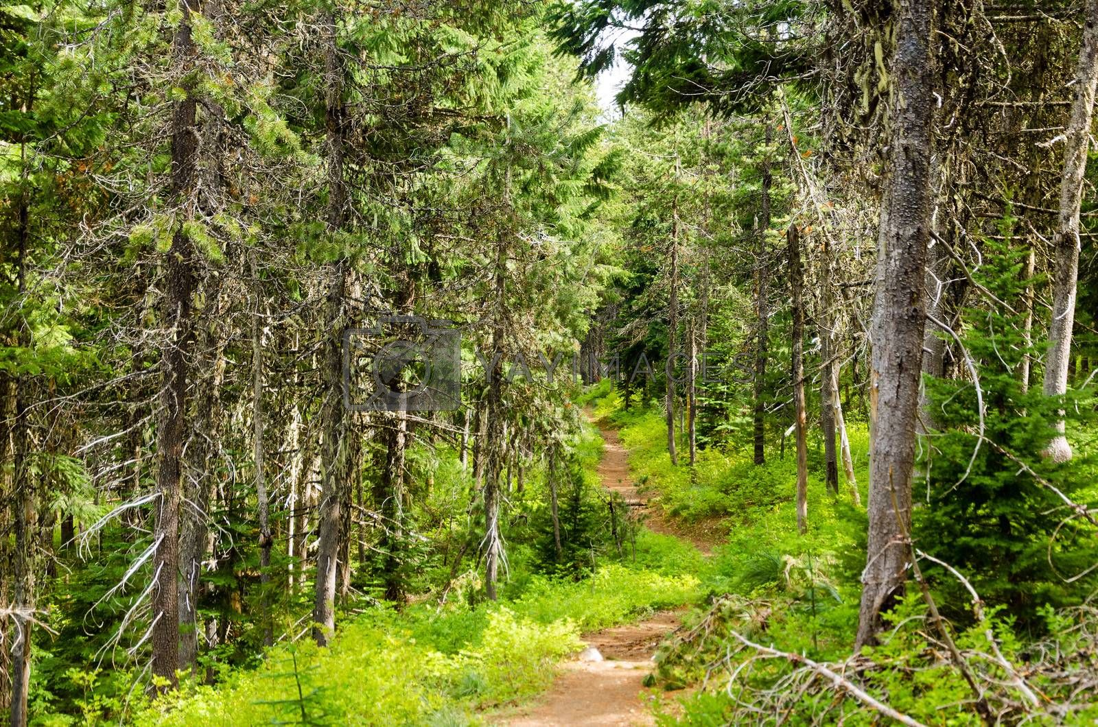 Trail running through Mt. Hood National Forest